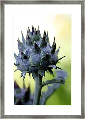 Cardoon Waiting To Bloom Framed Print by Julie Palencia