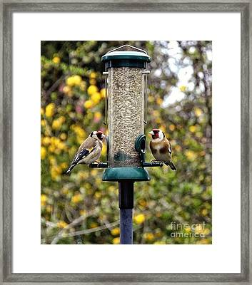 Carduelis Carduelis 'goldfinch' Framed Print