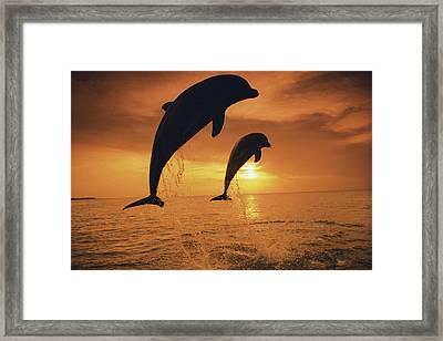 Caribbean, Bottlenose Dolphin (tursiops Framed Print by Stuart Westmorland