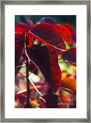 Caribbean Copper Plant Framed Print by Sharon Mau
