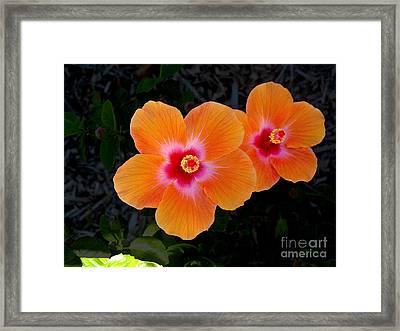 Caribbean Hibiscus Framed Print by Samuel James