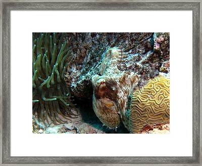 Caribbean Reef Octopus Next To Green Anemone Framed Print by Amy McDaniel