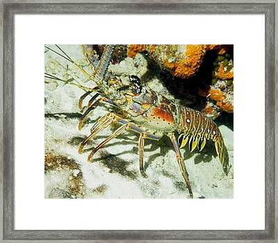 Caribbean Spiny Reef Lobster  Framed Print by Amy McDaniel