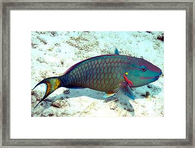Caribbean Stoplight Parrot Fish In Rainbow Colors Framed Print by Amy McDaniel