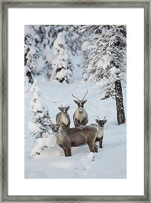 Caribou In A Winter Wonder Land Framed Print