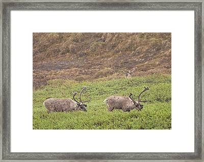 Caribou In The Rain Framed Print