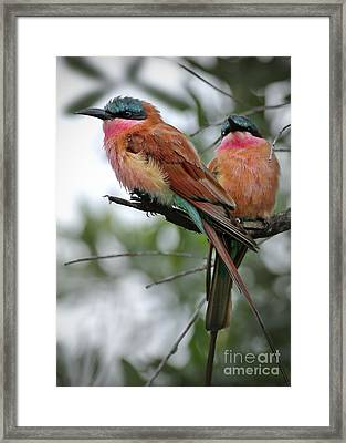 Carmine Bee Eaters Framed Print
