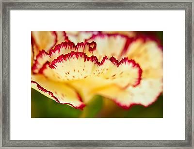 Carnation Cream Framed Print