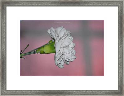 Carnation In Twilight Framed Print by Sonali Gangane