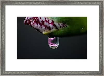 Carnation Framed Print