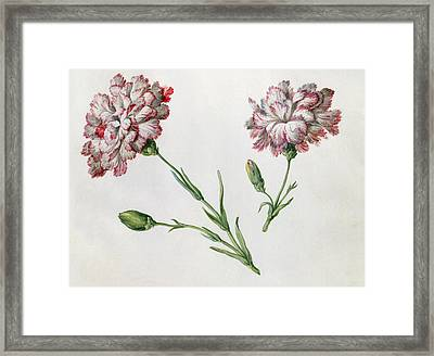 Carnations Framed Print by Claude Aubriet