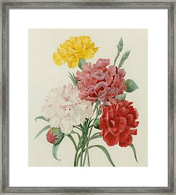 Carnations From Choix Des Plus Belles Fleures Framed Print by Pierre Joseph Redoute