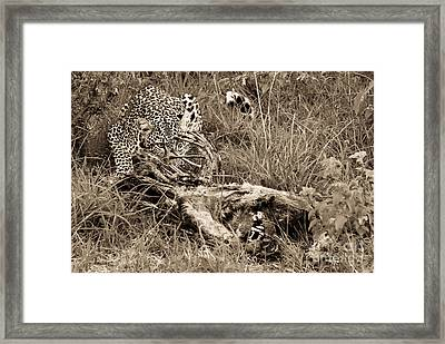 Carnivore Framed Print by Syed Aqueel