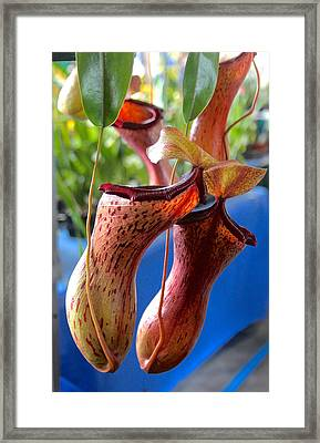 Carnivorous Pitcher Plants Framed Print