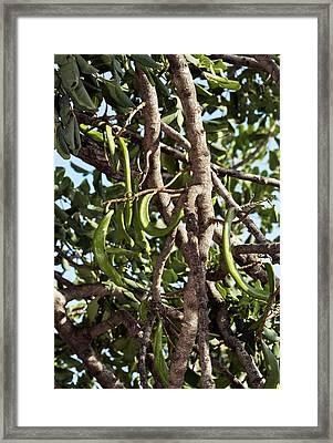 Carob Tree (ceratonia Siliqua) In Fruit Framed Print