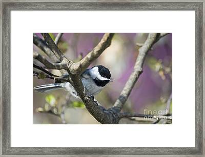 Carolina Chickadee - D008966 Framed Print