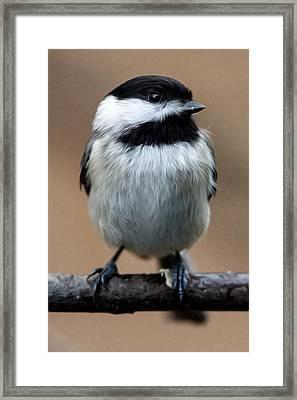 Carolina Chickadee Framed Print by John Haldane