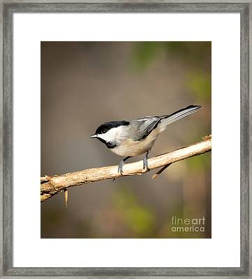 Carolina Chickadee  Framed Print by Kerri Farley