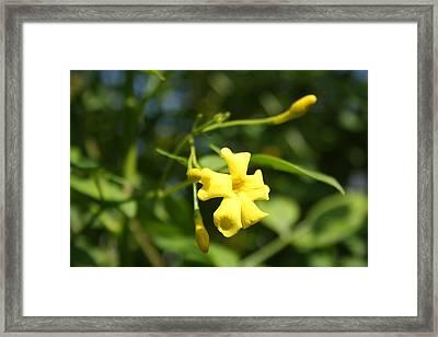 Carolina Jasmine Single Bloom In Sunlight Framed Print by Tracey Harrington-Simpson