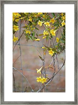 Carolina Jessamine Gelsemium Sempervirens Framed Print by rd Erickson