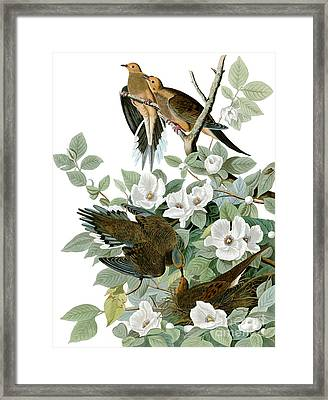 Carolina Pigeon Framed Print by Celestial Images