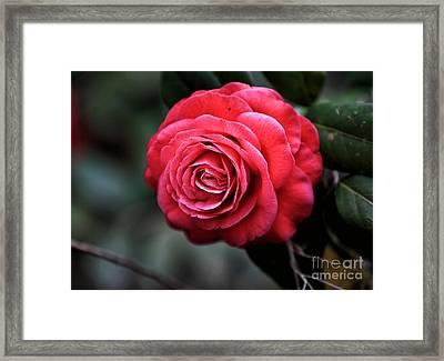 Carolina Red Rose Framed Print