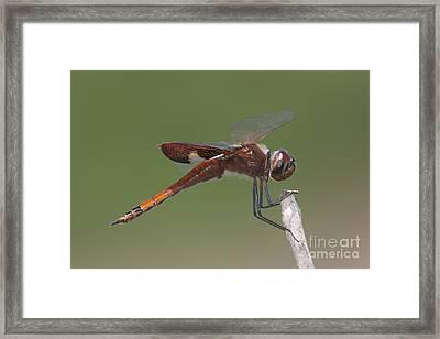 Carolina Saddlebags Dragonfly I Framed Print