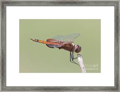 Carolina Saddlebags Dragonfly II Framed Print