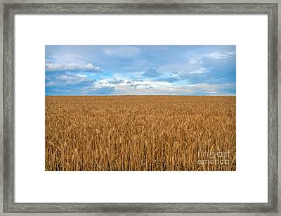 Carolina Wheat Field Framed Print by Marion Johnson