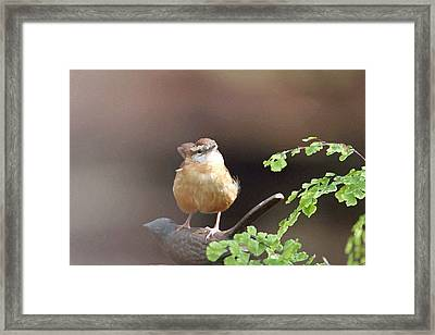 Carolina Wren Framed Print by Bob Richter