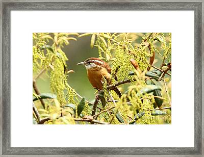 Carolina Wren Framed Print by Jennifer Zelik