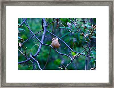 Carolina Wren Framed Print