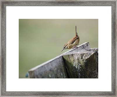 Carolina Wren Two Framed Print by Heather Applegate