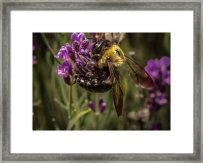 Carpenter Bee On A Lavender Spike Framed Print by Ron Pate