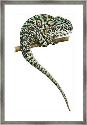 Carpet Chameleon, Illustration Framed Print