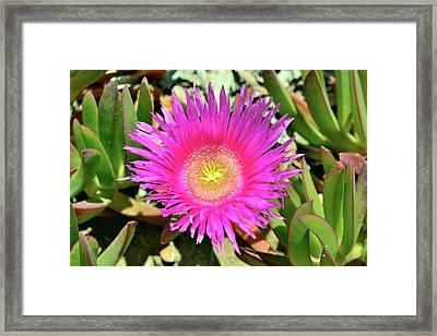 Carpobrotus Acinaciformis Flower Framed Print by Bruno Petriglia