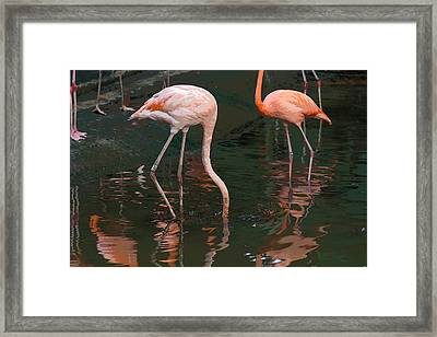 Cartoon - A Flamingo With Its Head Under Water In The Jurong Bird Park Framed Print by Ashish Agarwal