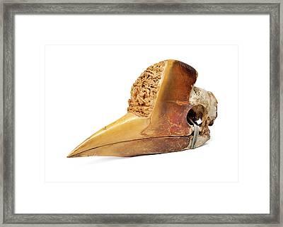 Carved Hornbill Skull Framed Print