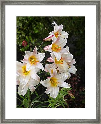 Cascade Of Glowing White Lilies Framed Print by Gill Billington
