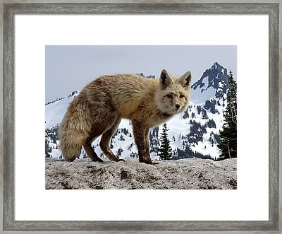 Cascade Red Fox 1 Framed Print