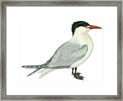 Caspian Tern Framed Print by Anonymous