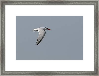 Caspian Tern Flight Framed Print