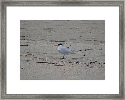 Framed Print featuring the photograph Caspian Tern by James Petersen