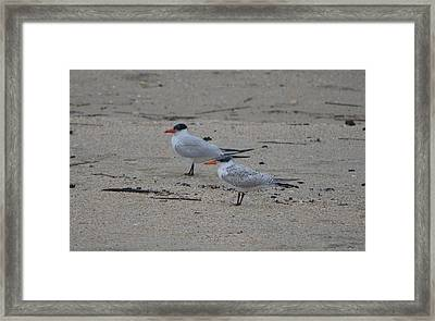 Framed Print featuring the photograph Caspian Tern Young And Adult by James Petersen