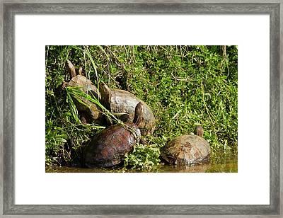 Caspian Turtle (mauremys Caspica) Framed Print