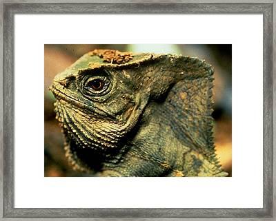 Casque-headed Iguana Framed Print