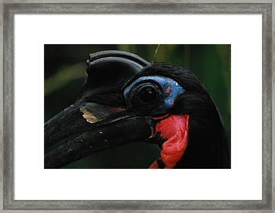 Casqued Ground Hornbill Framed Print