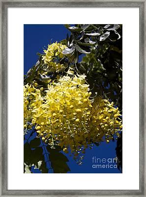 Cassia Fistula - Golden Shower Tree Framed Print by Sharon Mau