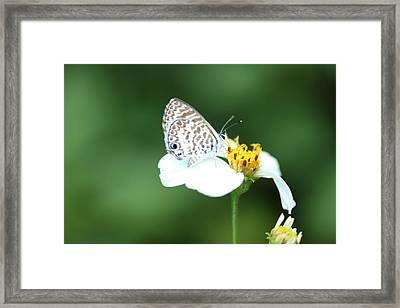 Framed Print featuring the photograph Cassius Blue On Wildflower by Greg Allore