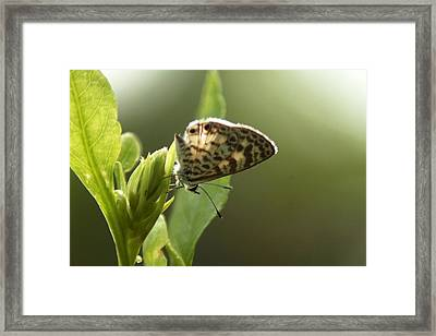 Cassius On Plumbago Framed Print